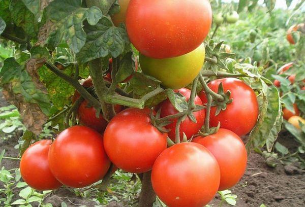 томат бони мм