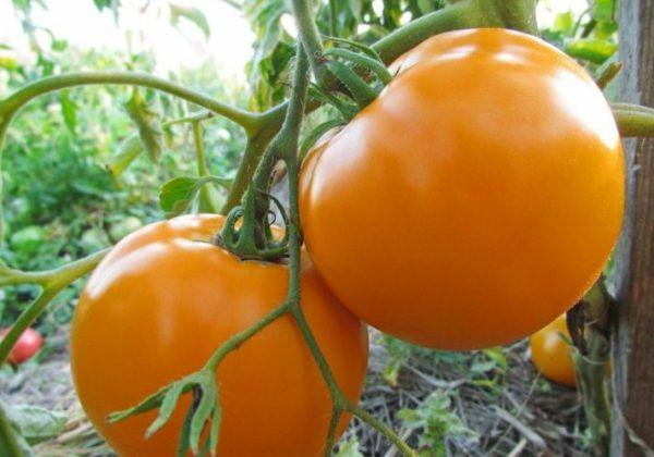томат утенок