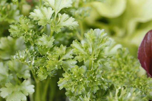 Петрушка - выращивание и уход в открытом грунте