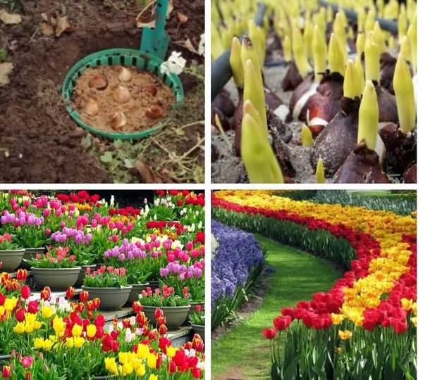 Когда сажать тюльпаны в открытый грунт - весной или осенью?