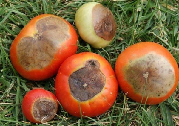 Вершинная гниль томатов в открытом грунте: причины, профилактика и лечение